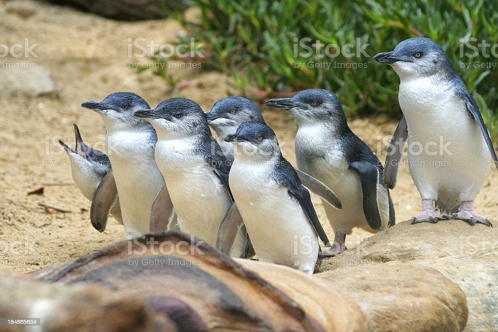 Blue Penguins stock photo