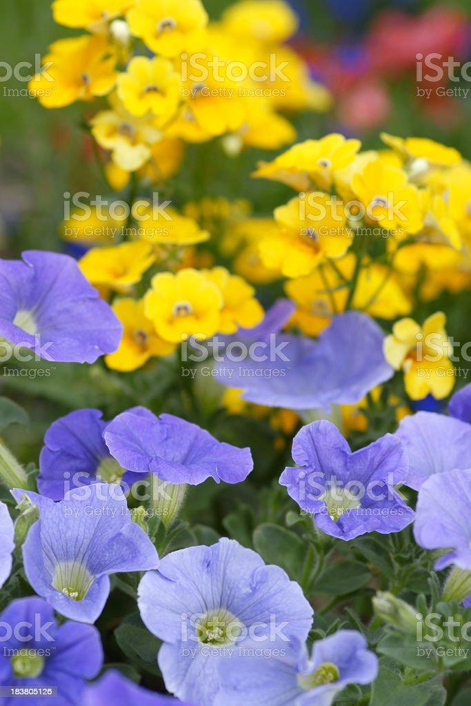 Blue penunias stock photo