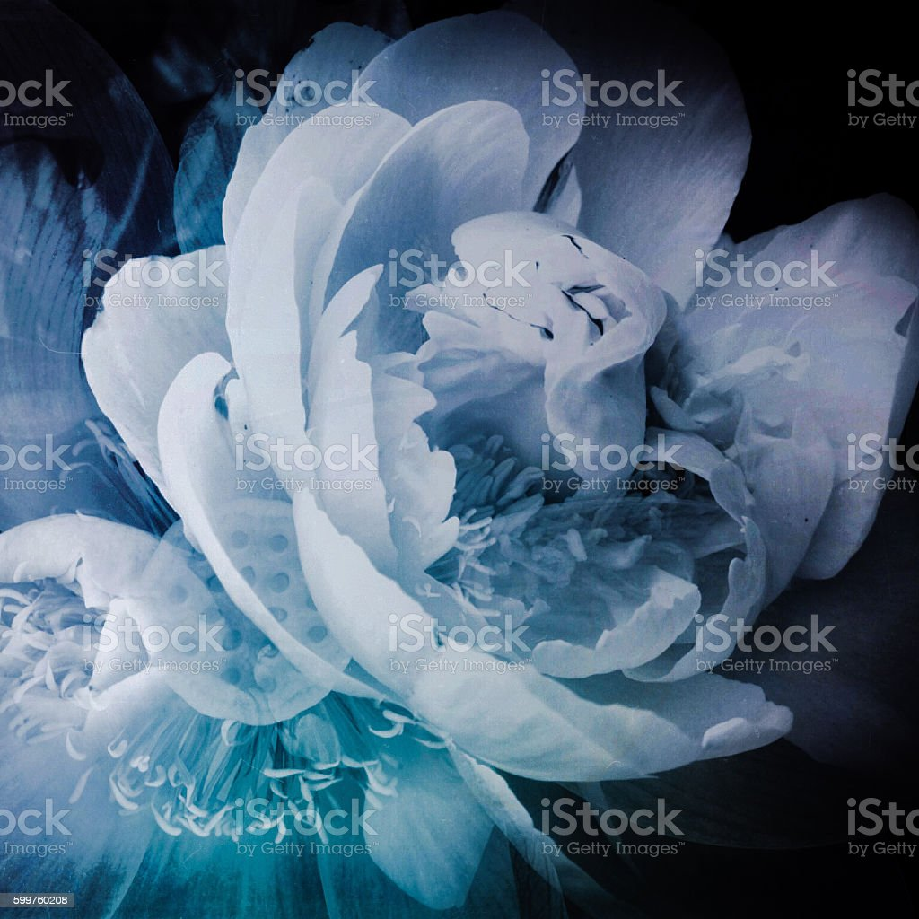 Blue Peony stock photo