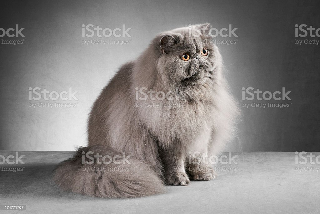 Blue persian cat sitting royalty-free stock photo