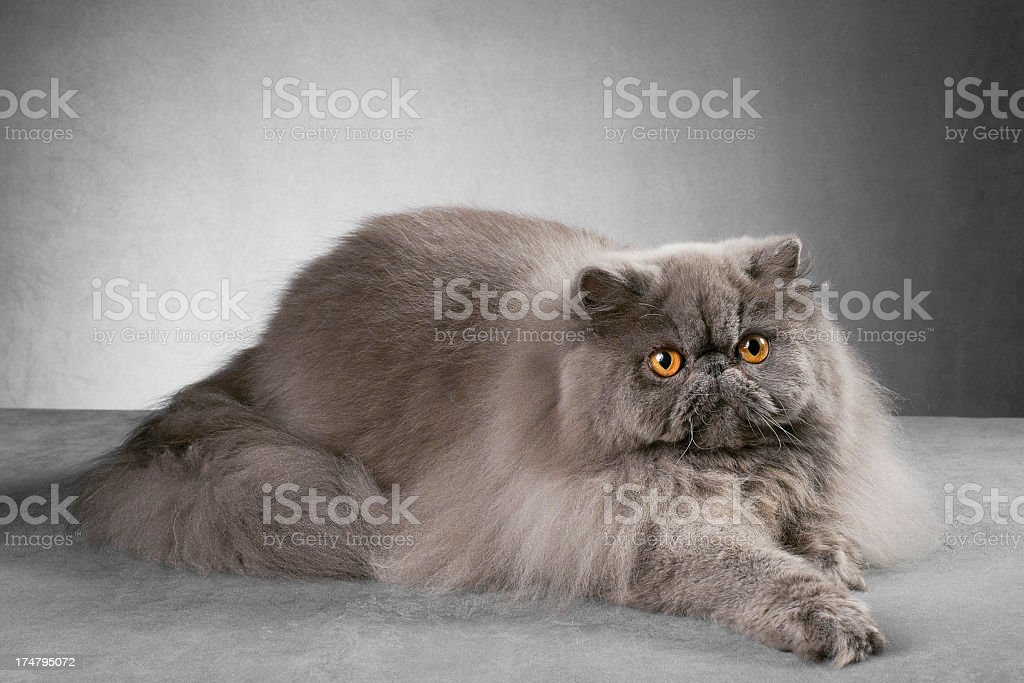 Blue persian male cat royalty-free stock photo