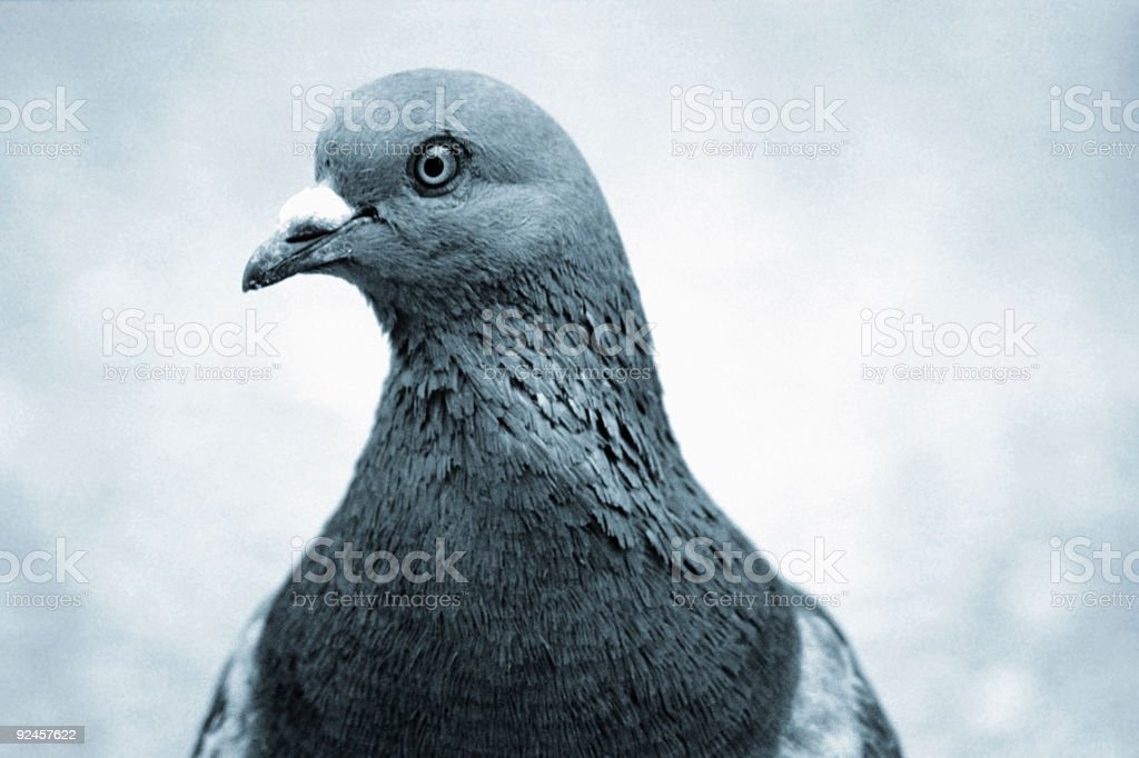 Blue Pigeon royalty-free stock photo