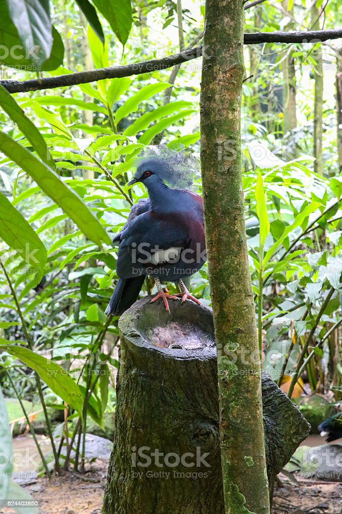 Blue pigeon sitting on a wooden stump in the forest stock photo