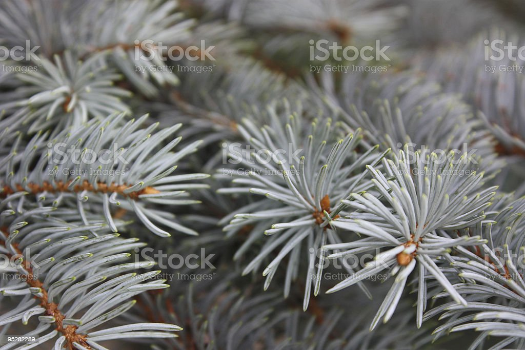 Blue Pine Background royalty-free stock photo