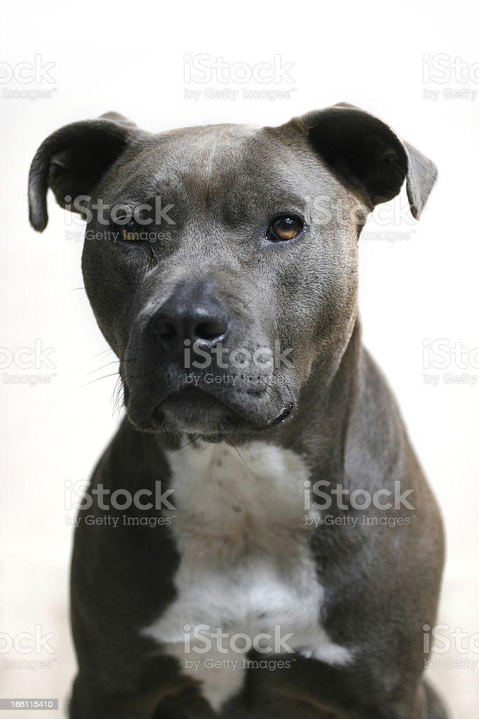 Blue pitbull headshot stock photo