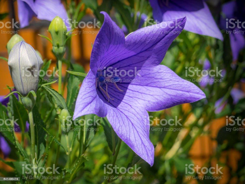 Blue Platycodon flower in bloom stock photo