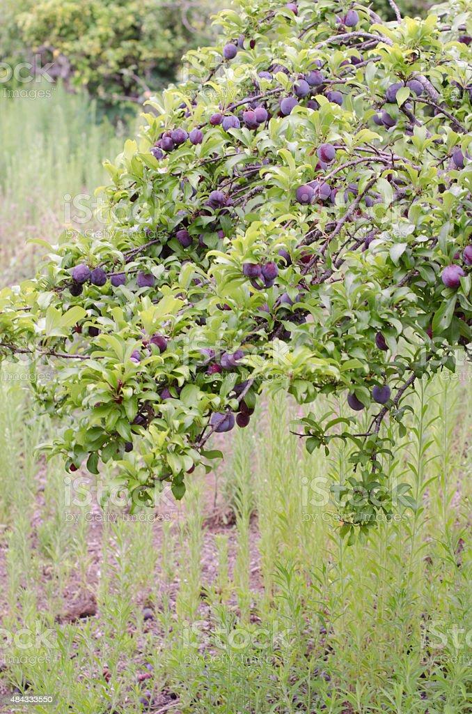 Blue plum tree. stock photo