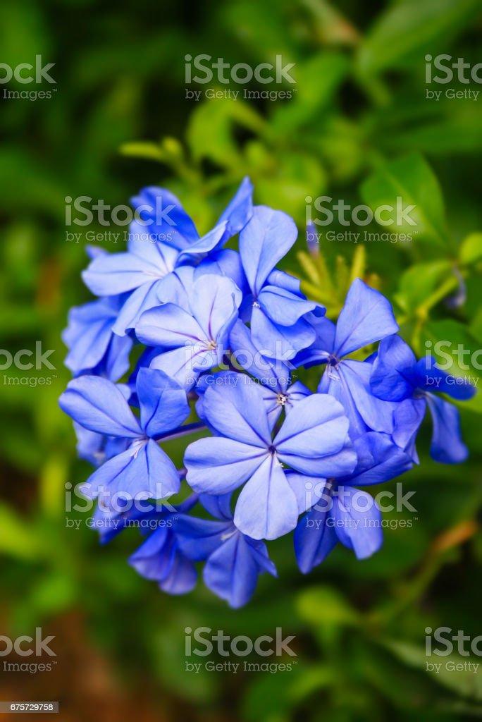 blue plumbago flowers stock photo