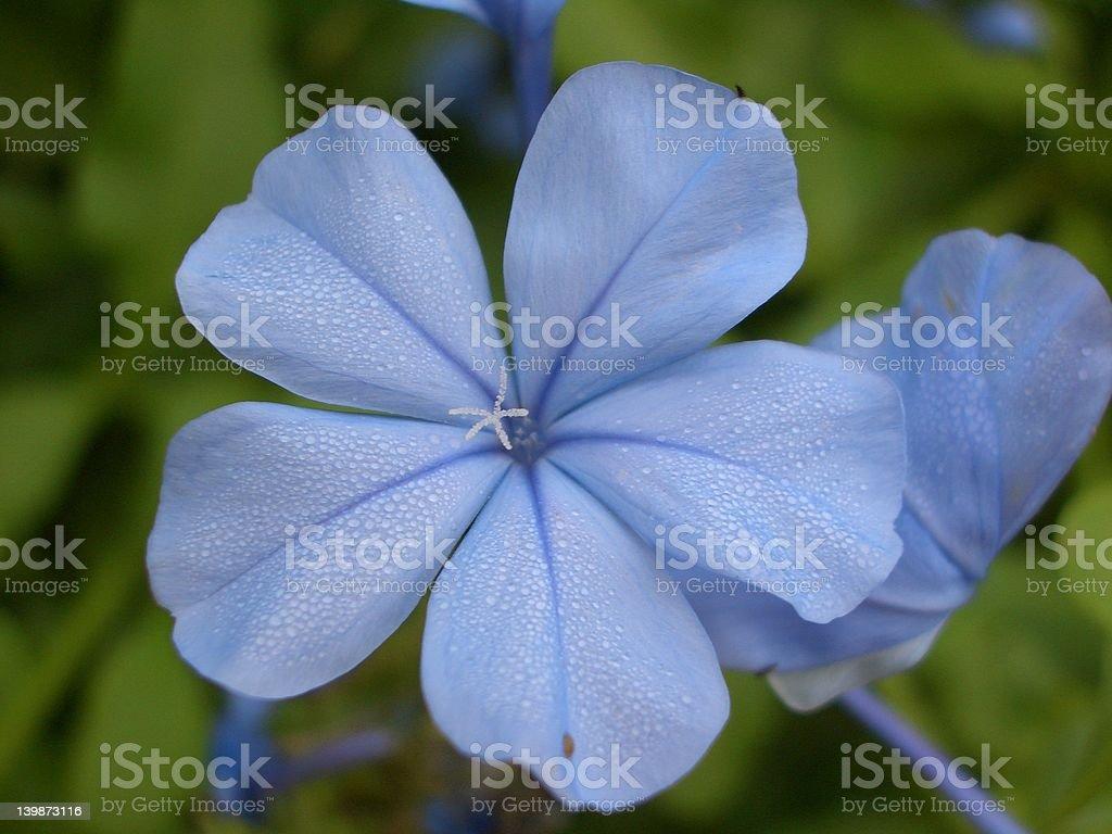 Blue Plumbago stock photo