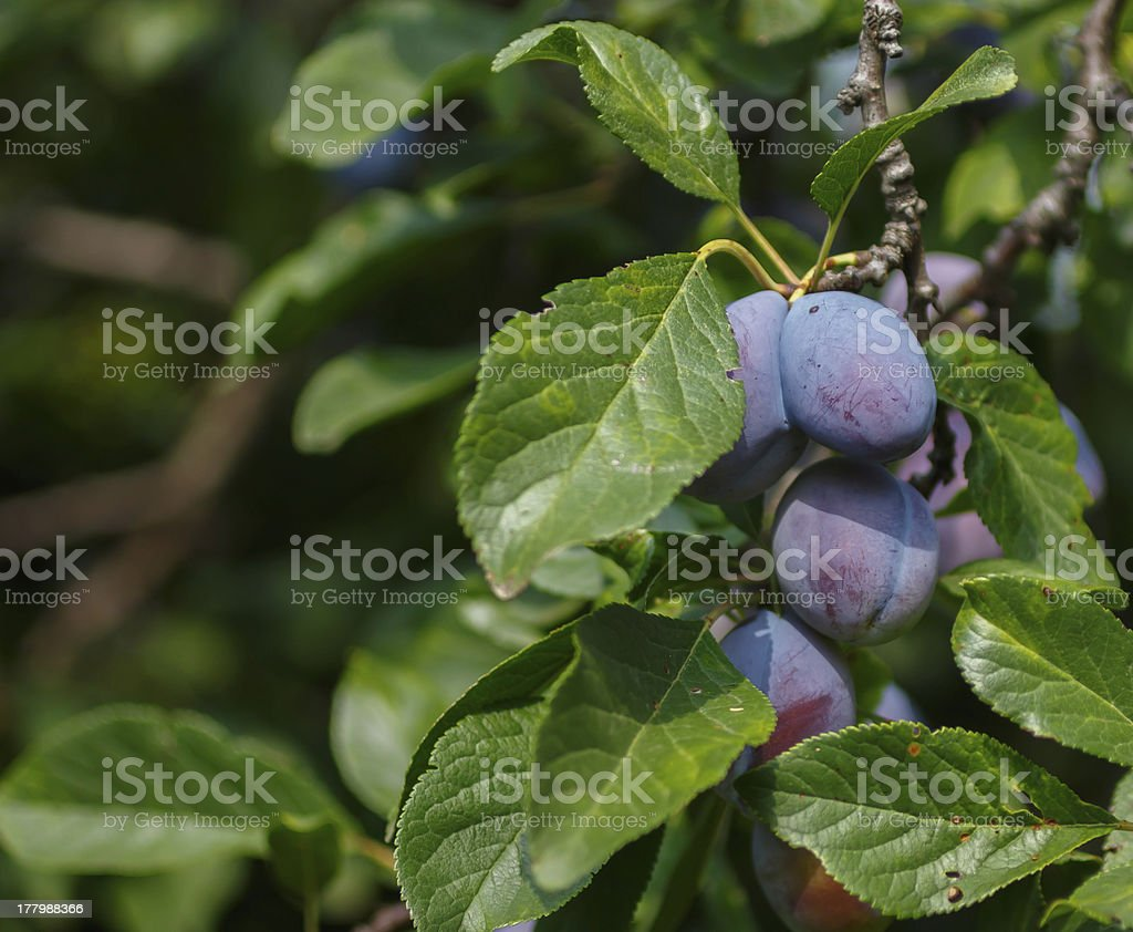 blue plums royalty-free stock photo