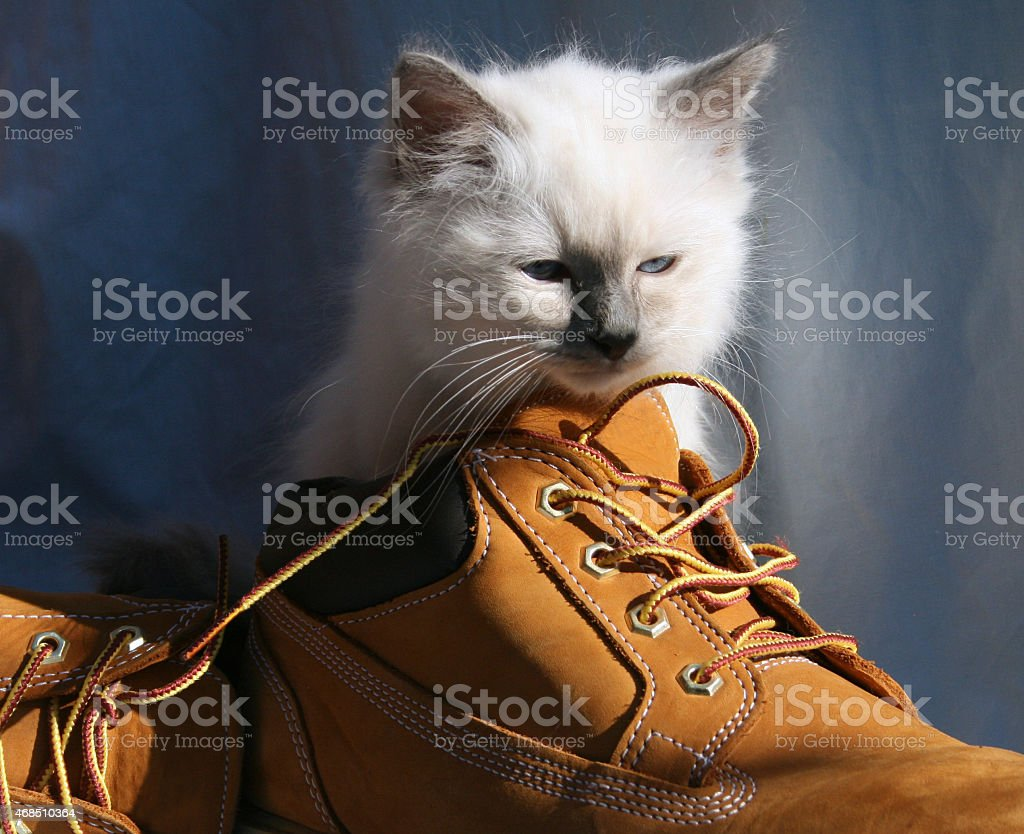 Blue Point Birman Kitten stock photo