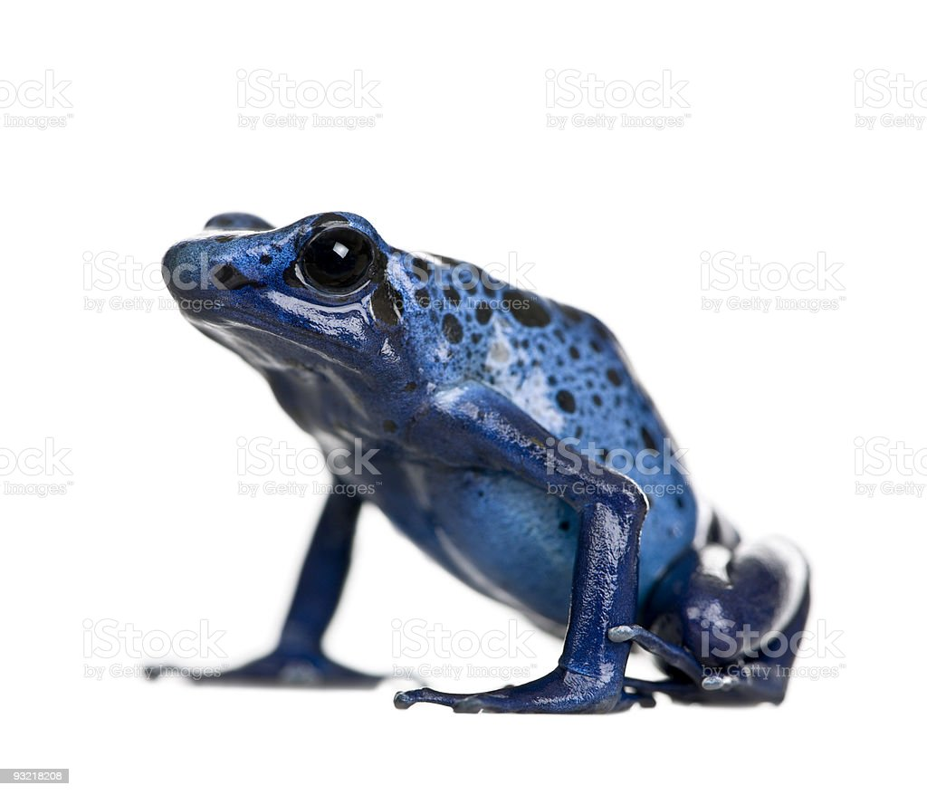 Blue Poison Dart frog against white background royalty-free stock photo