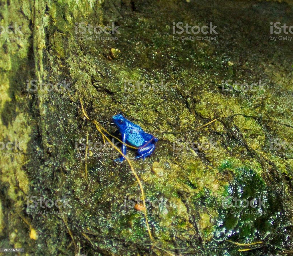 Blue Poison Dart Frog in Algae stock photo