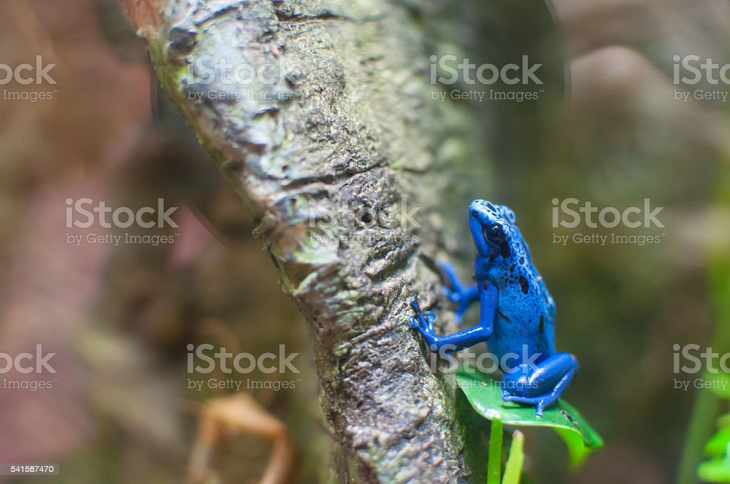 Blue poison dart frog on a tree stock photo