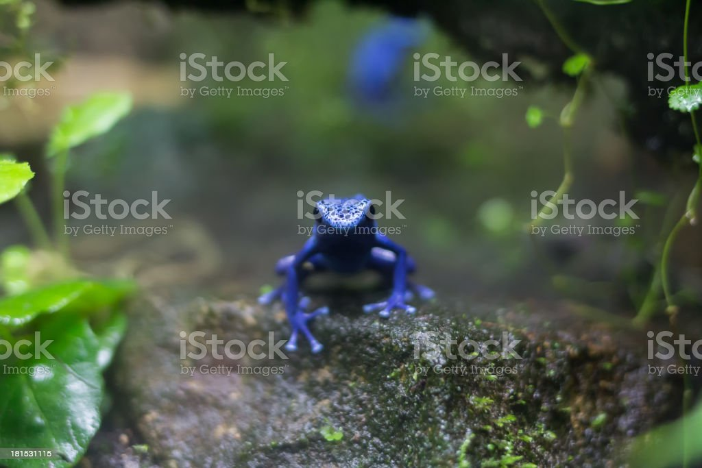 blue poison dart frog royalty-free stock photo