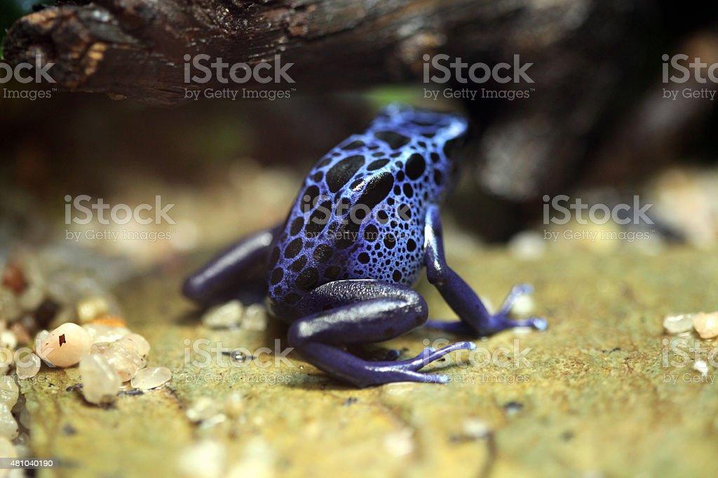 Blue poison dart frog (Dentrobates azureus). stock photo