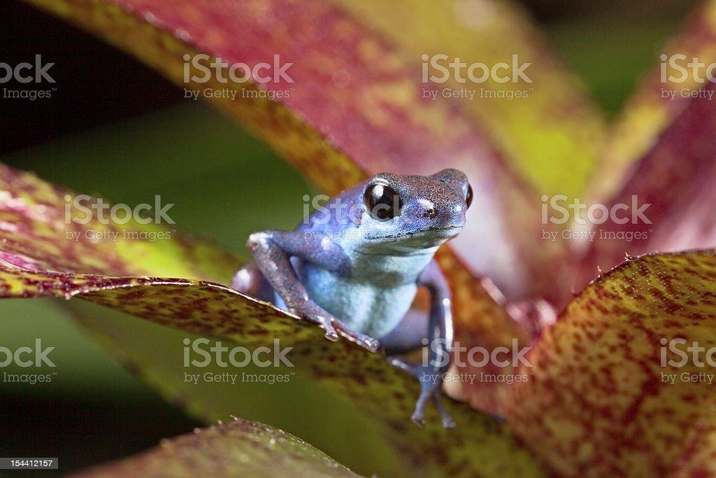blue poison frog stock photo