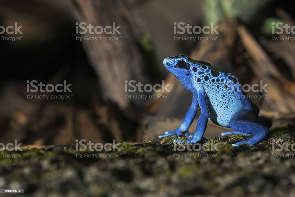 Blue poison frog royalty-free stock photo