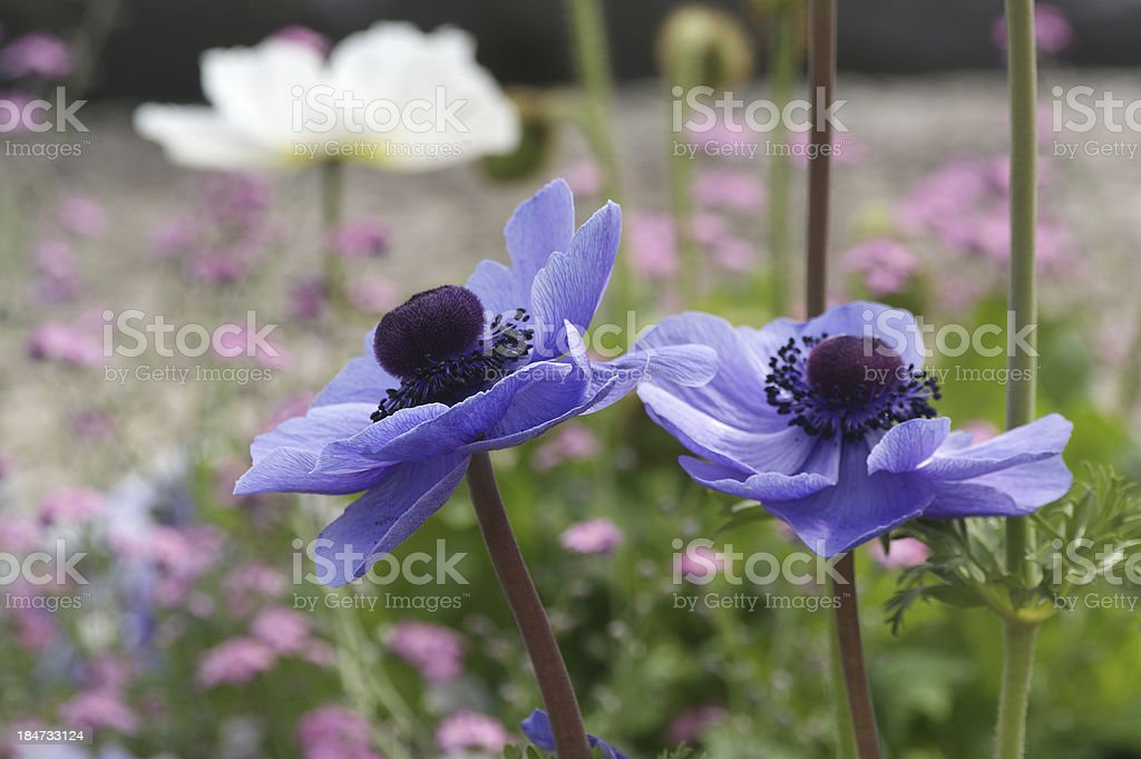 Blue poppies closeup royalty-free stock photo