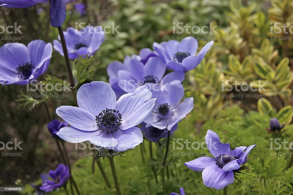 Blue Poppies stock photo