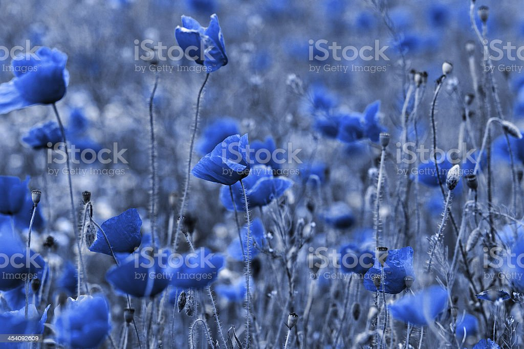 Blue poppies stock photo
