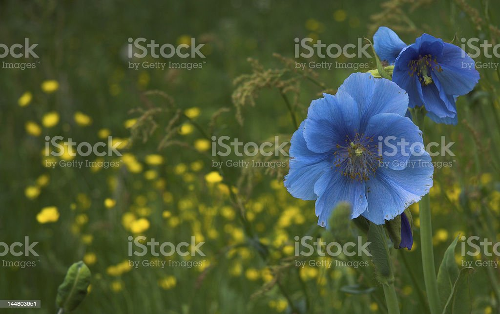Blue poppies - yellow blurred flowers in backgruond stock photo