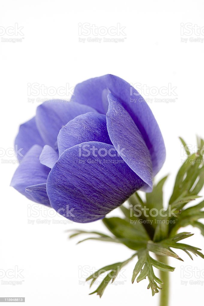 Blue Poppy royalty-free stock photo