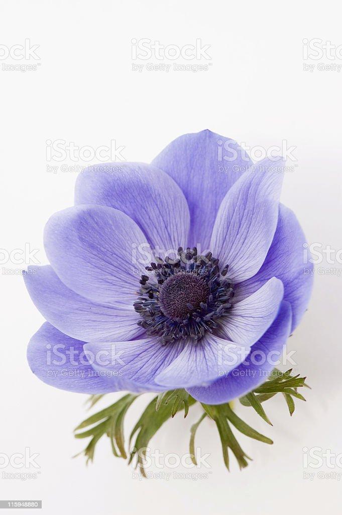 Blue Poppy stock photo