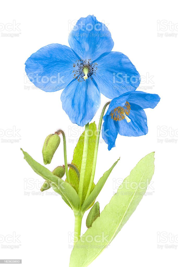 Blue poppy with green leaves isolated on white royalty-free stock photo