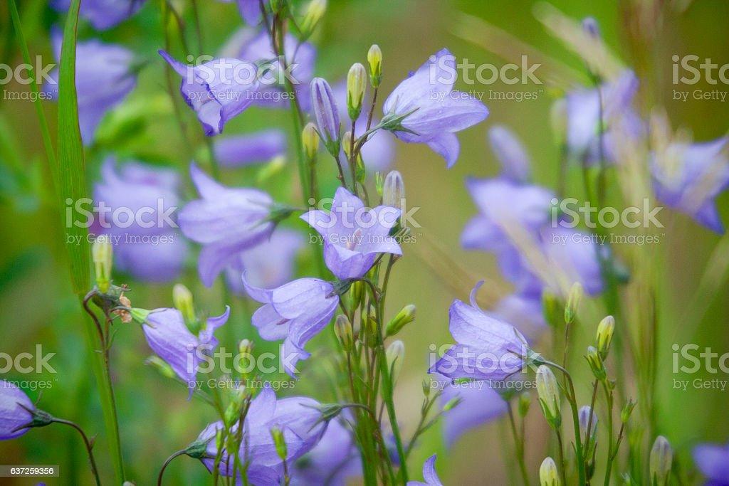 Blue Prairie Harebells Wild Flowers stock photo