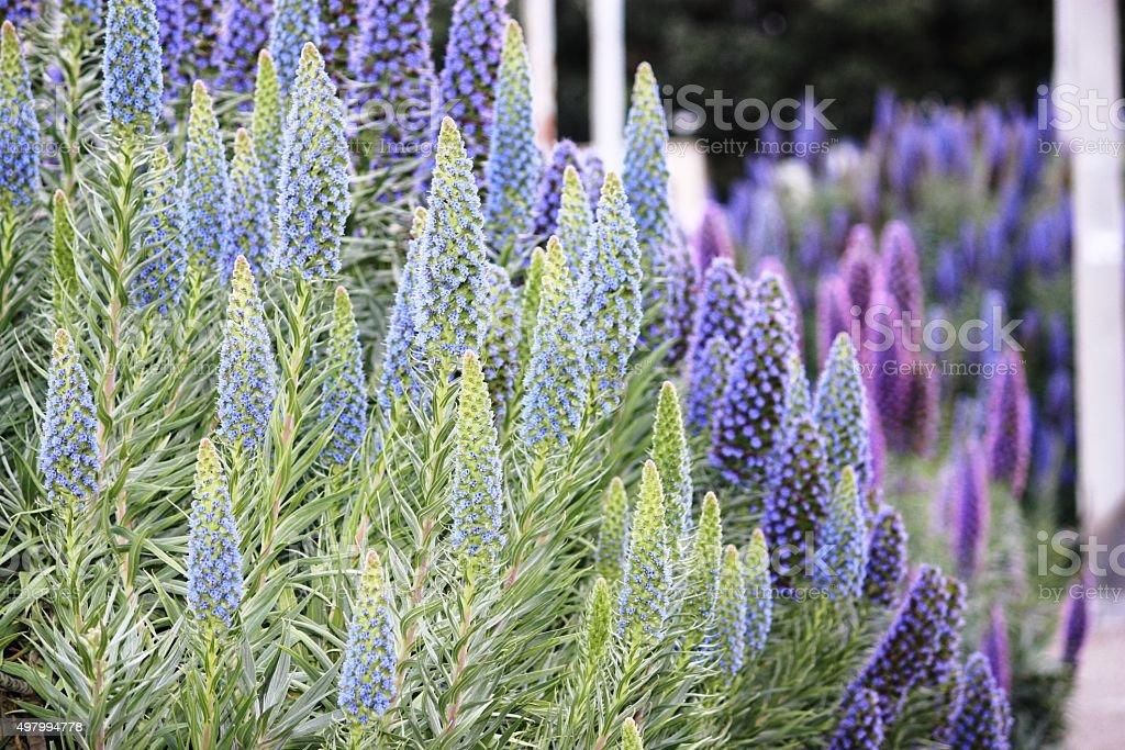Blue Pride of Madeira Echium fastuosum San Francisco Bay Region stock photo
