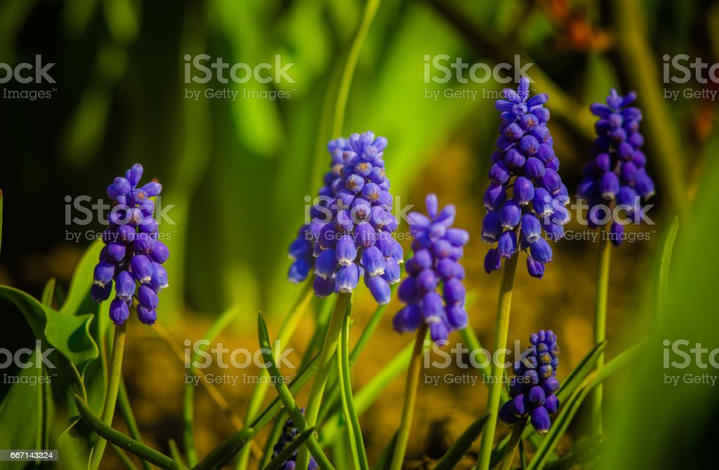 Blue Purple Muscari plant spring flowers. Muscari as cheerful harbinger of spring with its bright flowers stock photo
