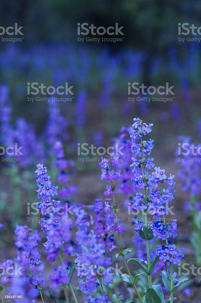Blue Purple Wildflowers stock photo
