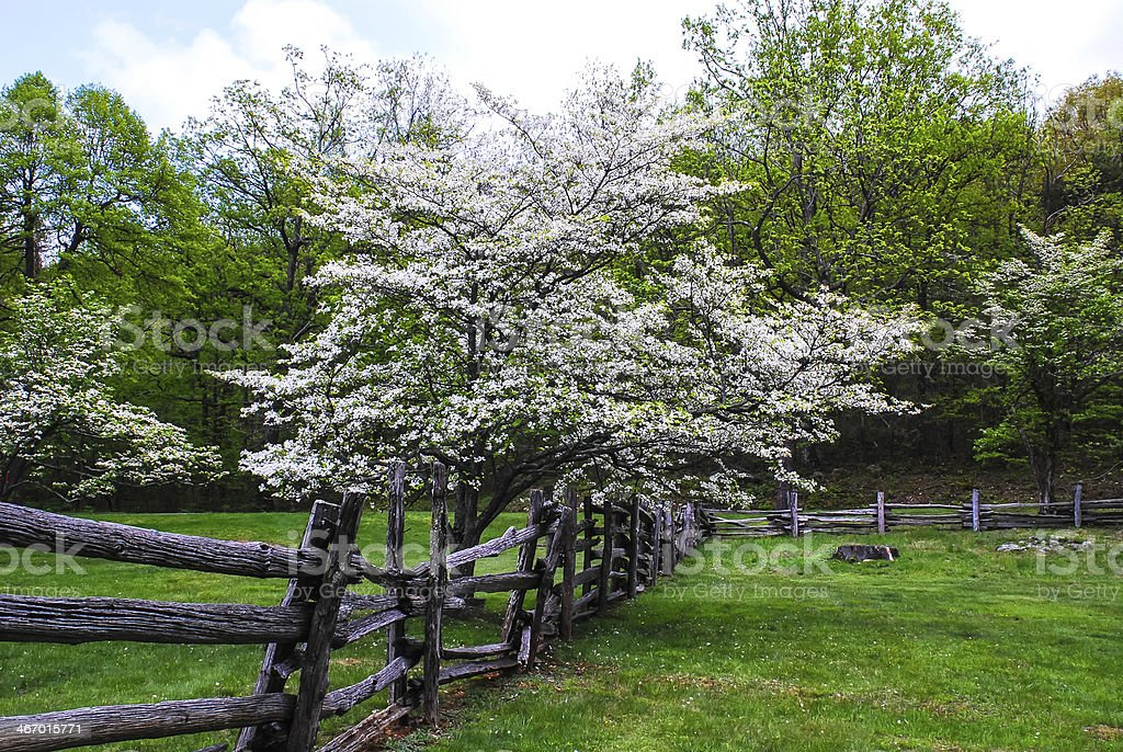 Blue Ridge Mountain Dogwoods royalty-free stock photo