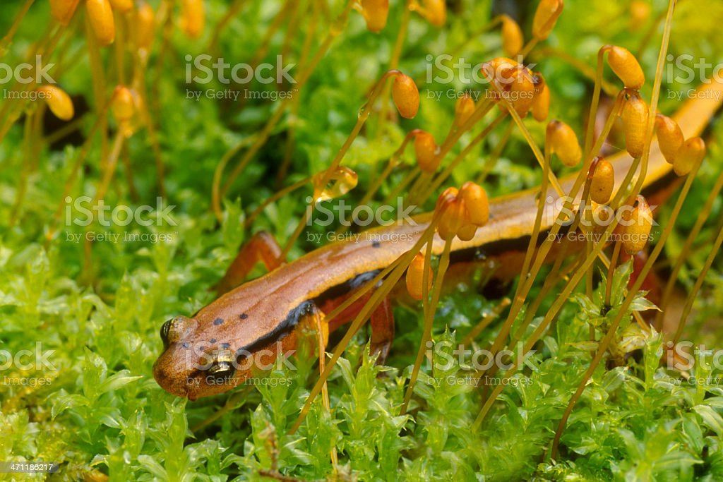 Blue Ridge Two Lined Salamander royalty-free stock photo