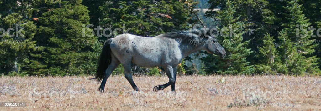 Blue Roan Band Stallion in Montana – Wyoming USA. stock photo