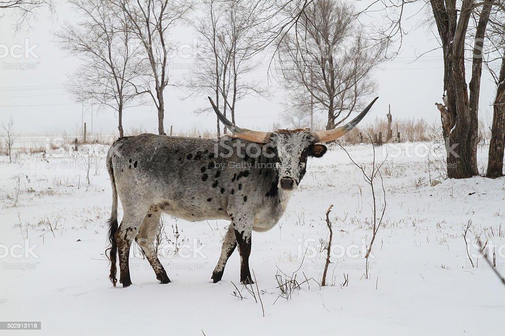 Blue Roan Texas Longhorn in Winter stock photo