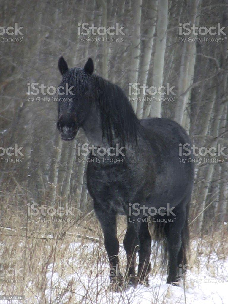 Blue Roan Wild Stallion stock photo