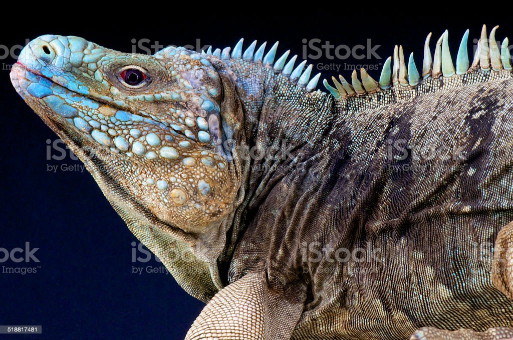 Blue rock iguana / Cyclura lewesi stock photo