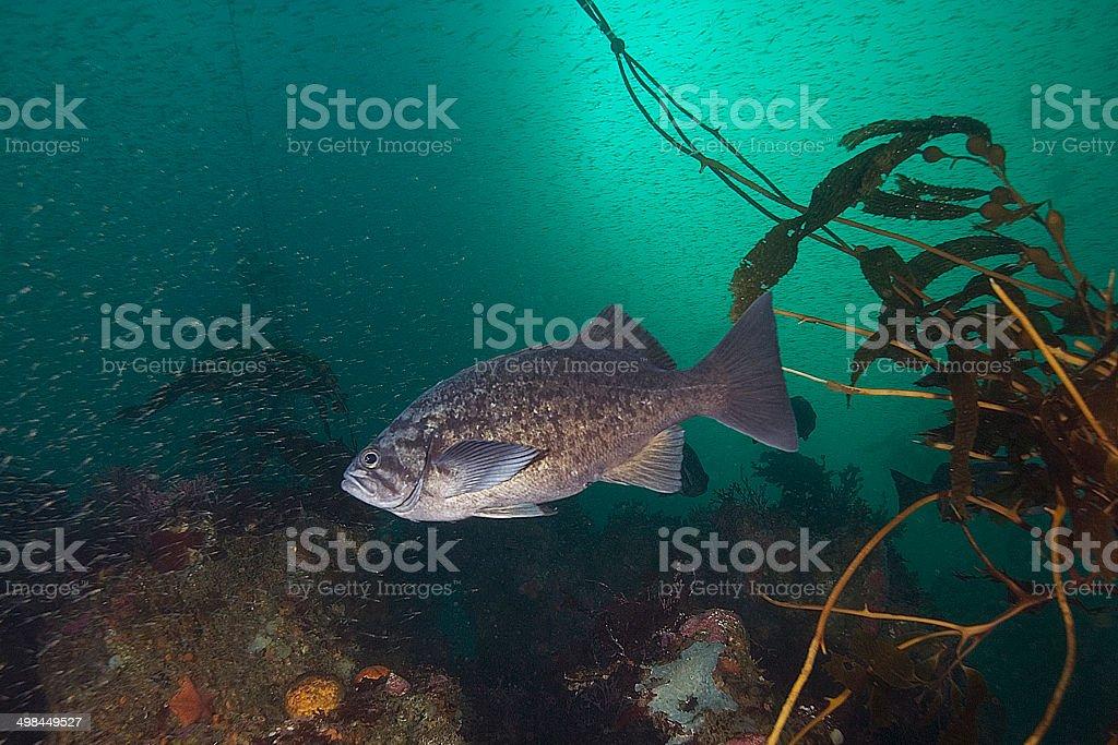Blue Rockfish in heavy krill stock photo