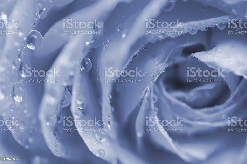 Blue rose macro royalty-free stock photo