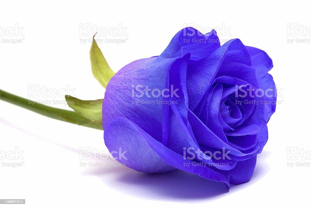 Rosa Azul sobre fundo branco foto de stock royalty-free