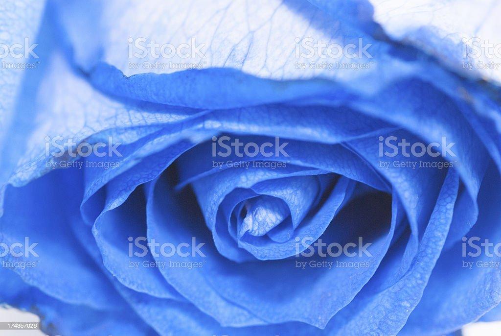 Blue rose royalty-free stock photo