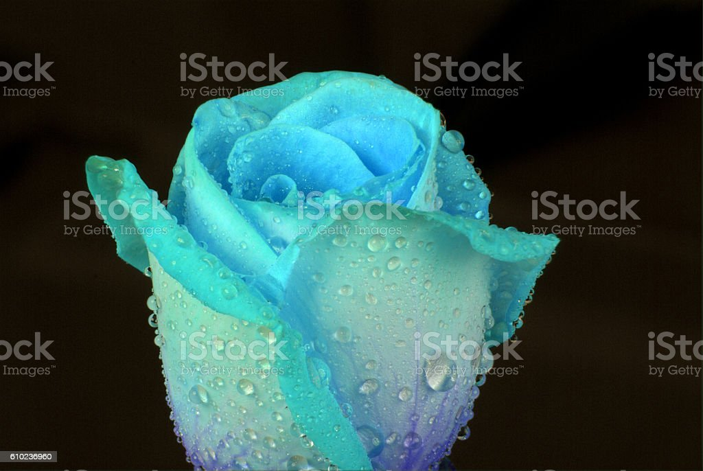 blue rose with water drops stock photo