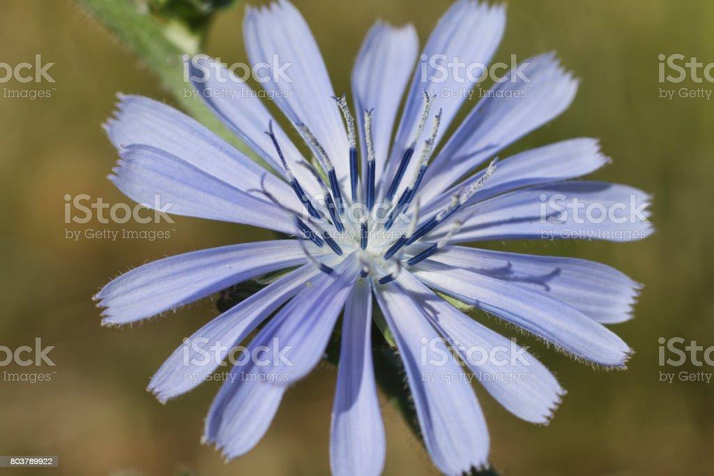 Blue sailors flower of chicory Cichorium intybus stock photo