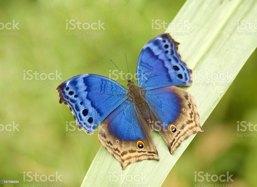 Blue Salamis butterfly royalty-free stock photo