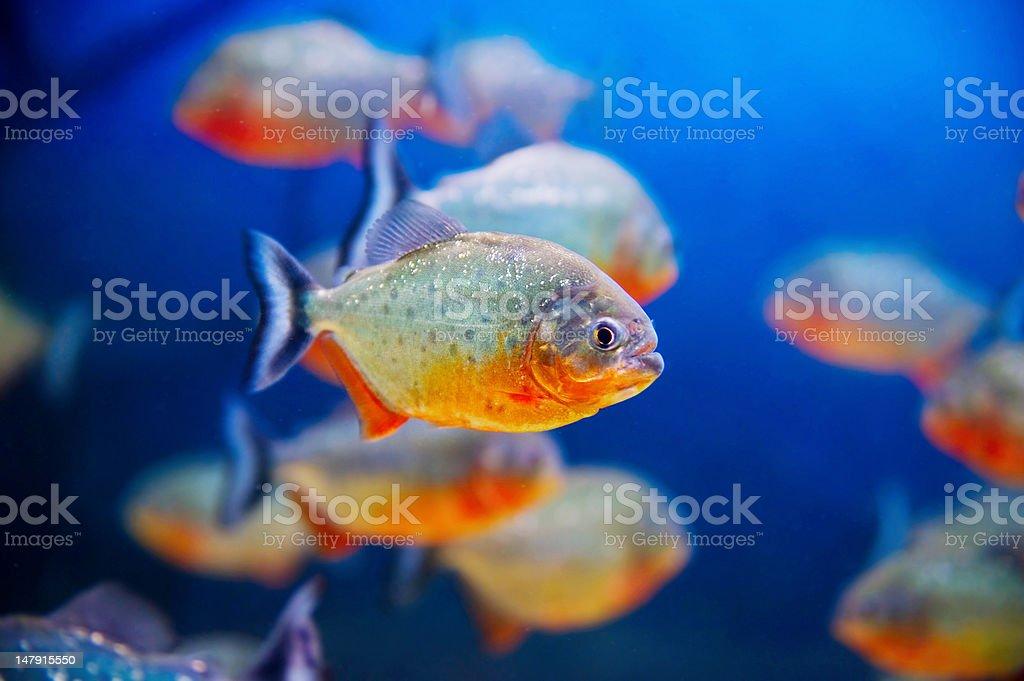 Blue saltwater aquarium royalty-free stock photo