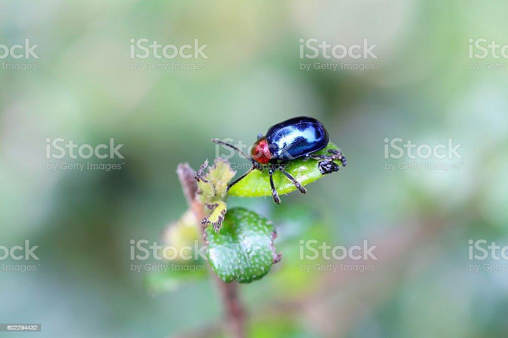 blue scarabaeidae on branch tree in the garden. stock photo