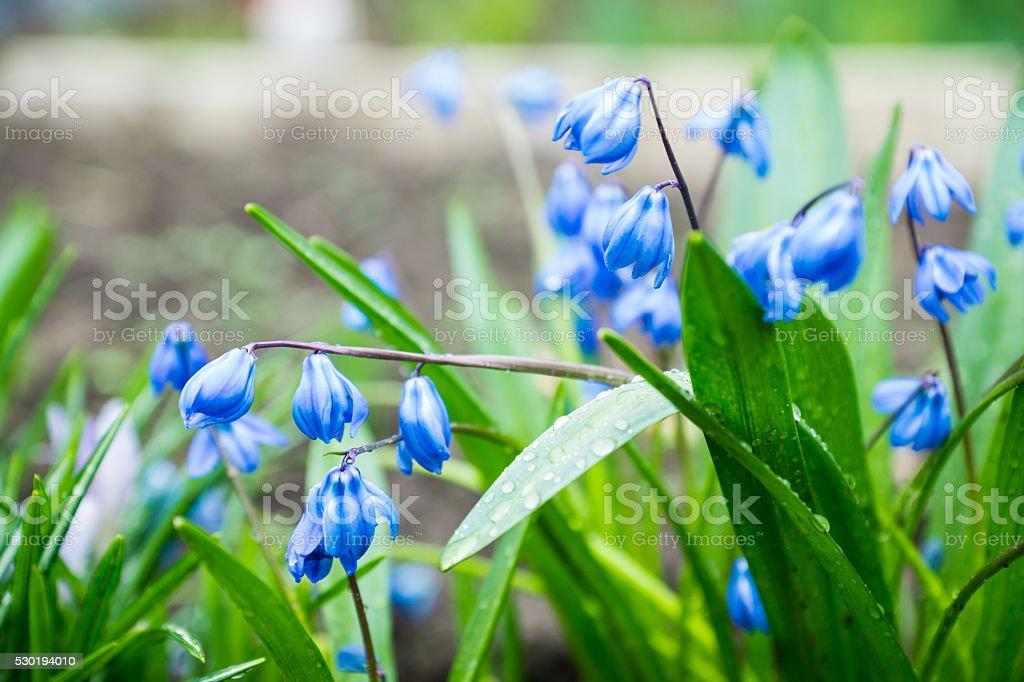 Blue scilla (Scilla siberica) blooming in the garden stock photo