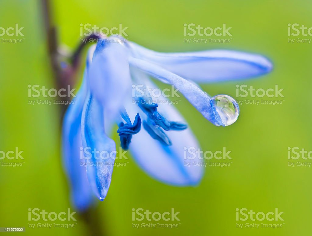 blue scilla flower with water drop on green background stock photo